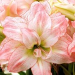 amaryllis-aphrodite-150x150.jpg