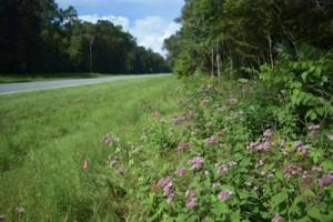 Brickellia cordifolia along Hwy 98 in Wakulla County, FL