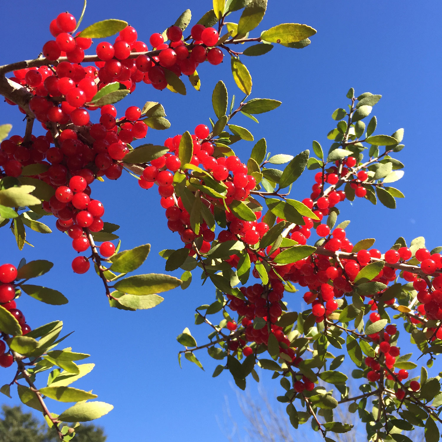 The bright red berries of Yaupon olly provide abundant food for birds and are useful for holiday decorating. Photo by Lilly Anderson-Messec