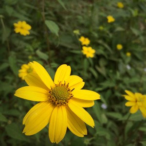 Heliopsis blooms from spring to frost!