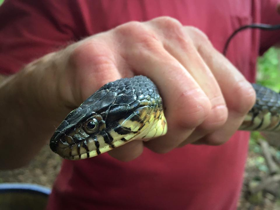 NON-Venomous Banded Water Snake - notice the eyes and rounded head.