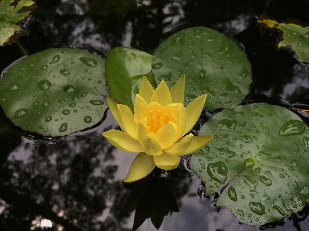 pond-plant-lotus.jpg