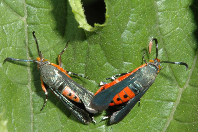 Adult Squash Vine Borer, Photo by Jeff Hahn