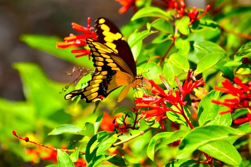 Giant Swallowtail on Firebush