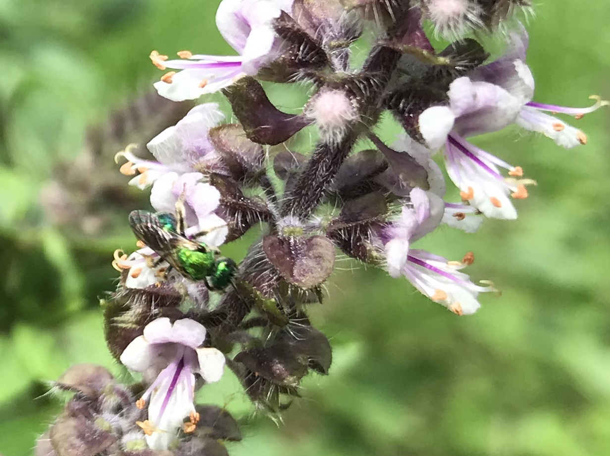 Tiny metallic green sweat bee visiting African blue basil. Photo by Elizabeth Georges. African blue basil blooms are very attractive to many native bees and beneficial wasps. (Photo: Elizabeth Georges)