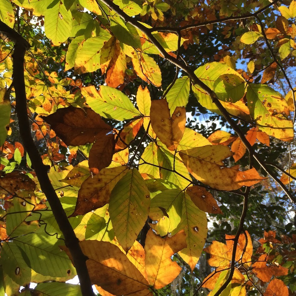 American Beech beginning to show it's fall foliage. Photo by Lilly Anderson-Messec