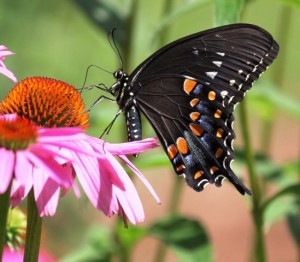 Spicebush swallowtail on purple coneflower. Photo by Janeen Langley.