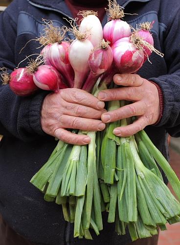 onions-of-tropea