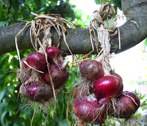 sweet-italian-onions-hanging-on-tree