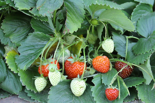 strawberries-in-the-garden