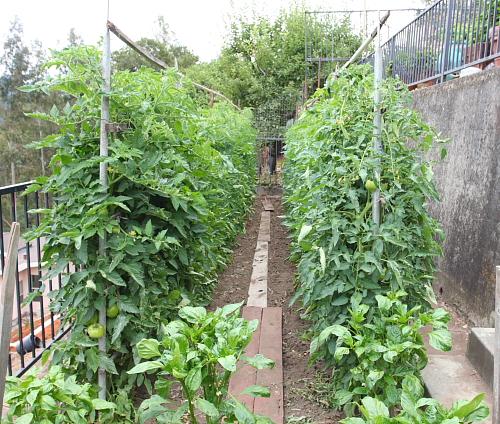 tomatoe-on-trellis-july