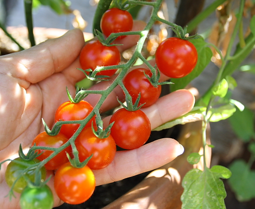 cherry-tomatoes-on-the-vine
