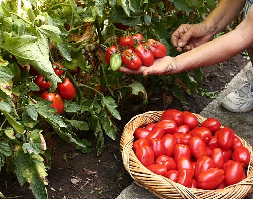 mom-picking-tomatoes