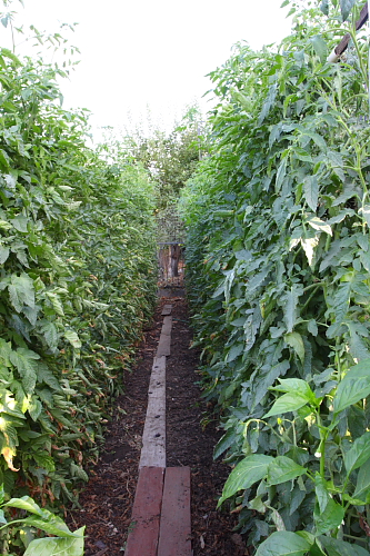 rows-of-tomatoes-august