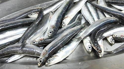 Fresh-anchovies-2698