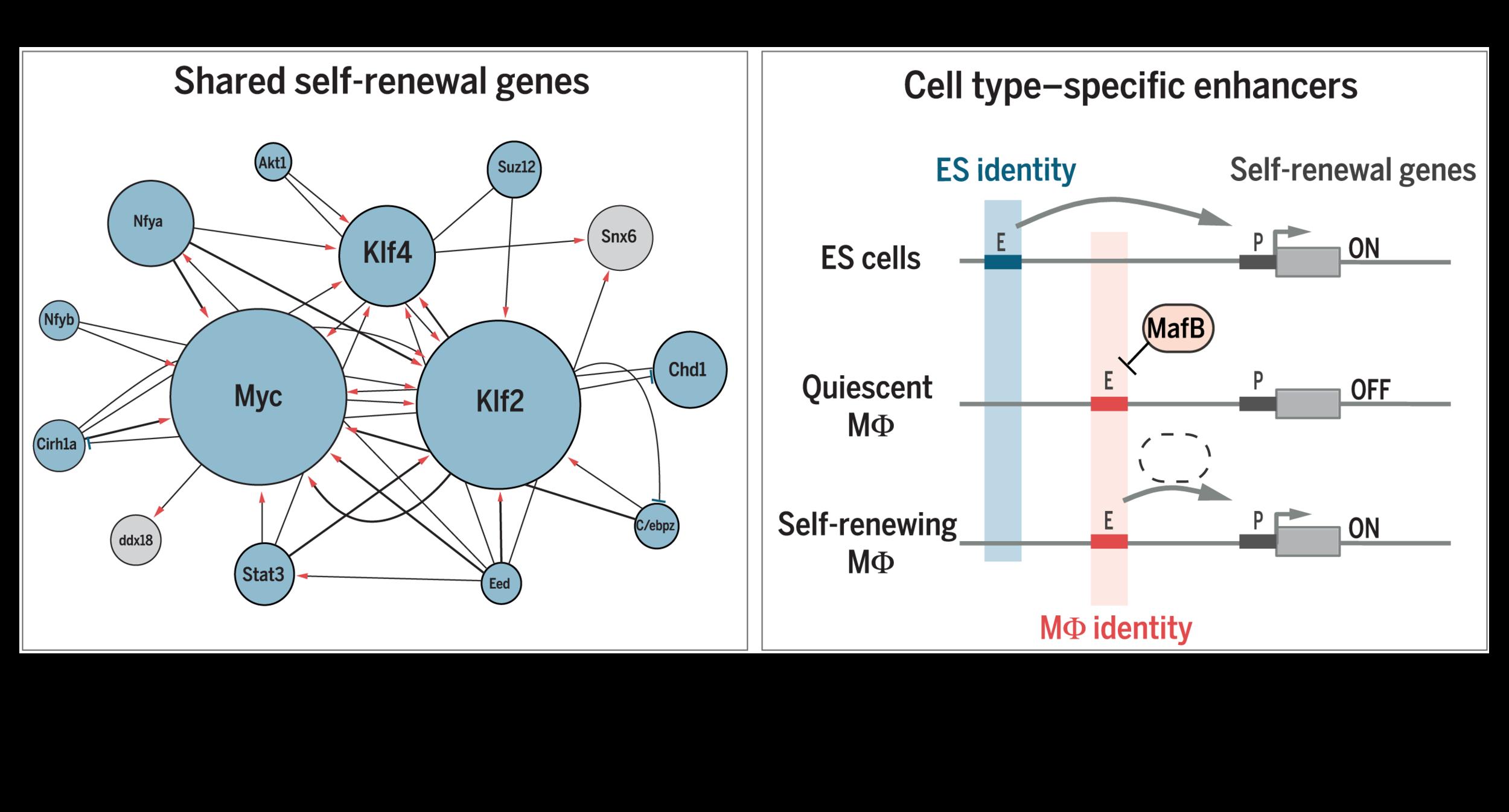 Activation of Self-Renewal Gene Network on a Macrophage-Specific Enhancer Platform. Soucie et al, Science 2016