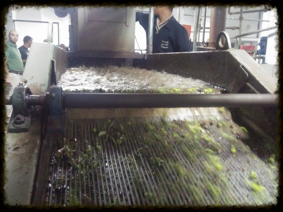 Olives being Washed