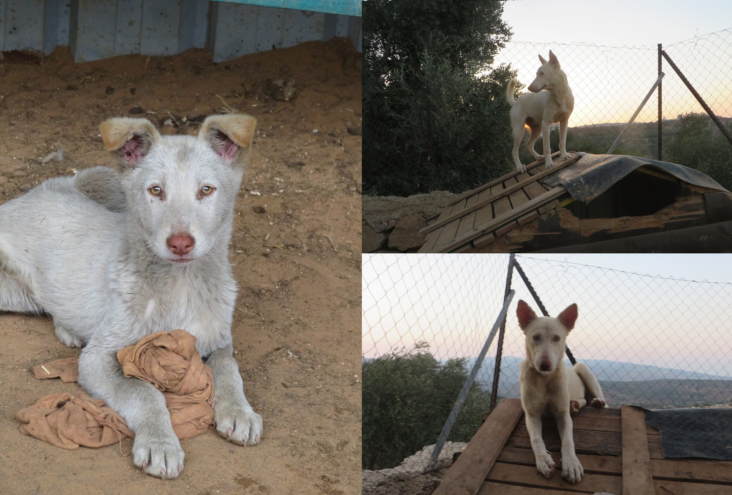 Nilin - Nilin was found abandoned near a gas station in the village of Nilin, covered in dirt and oil. He fit right in when he got to Hugz and has been full of energy and curiosity ever seen he got here. He always tries to escape when we open the pen door, but he just runs around outside for a minute then comes right back, because he really loves his penmates and would rather play with them all day. Thanks to Kelly for sponsoring Nilin!
