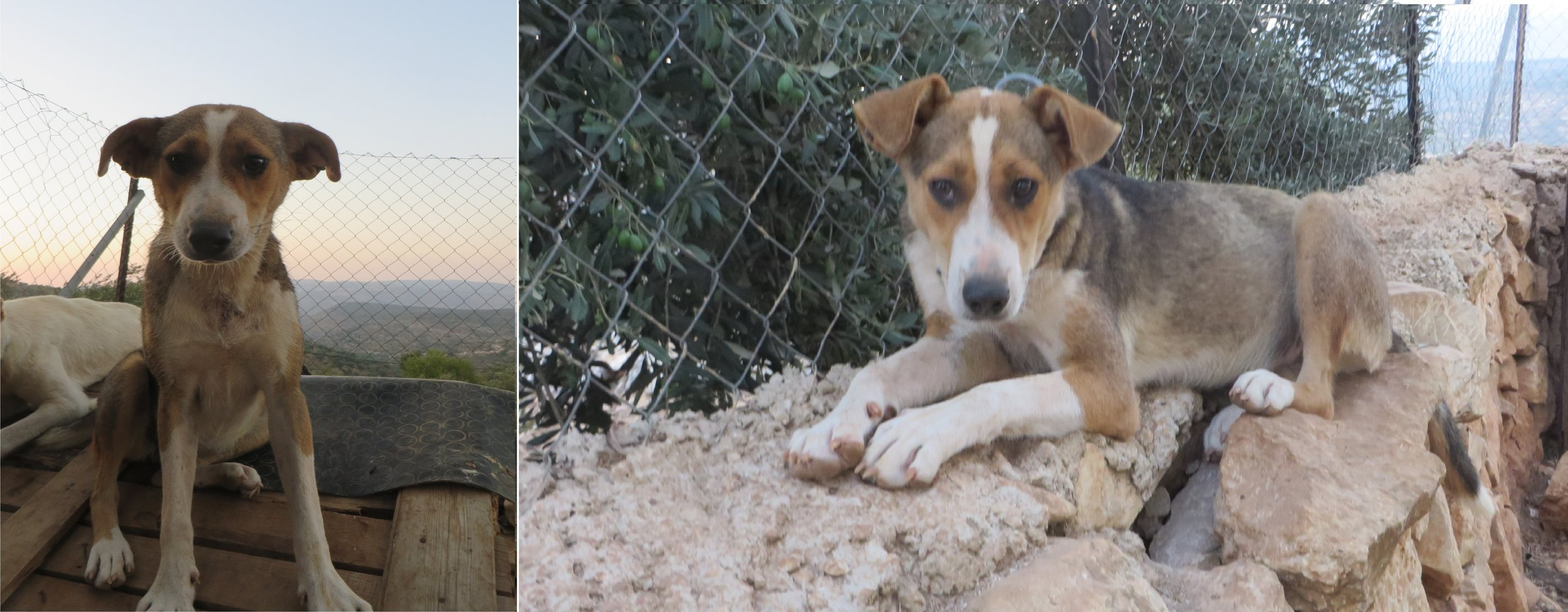 """Awiyeh (""""Strong One"""") - Usama rescued this abandoned puppy from Nablus. Although she is very playful and friendly, she is unexpectedly strong and doesn't let other dogs push her around. She is besties with Badu and they spend all day playing with each other. It's always fun to open her pen because she can't wait to attack whoever visits and shower them with kisses and hugs."""