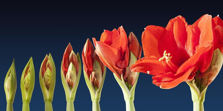 1-blossoming-amaryllis-flower-tilen-hrovatic.jpg