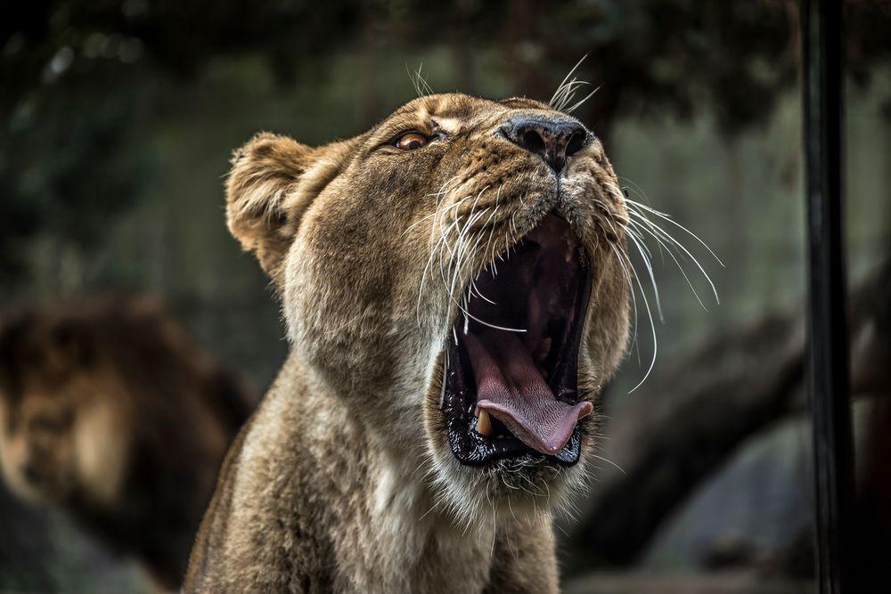 roaring_lion.jpg