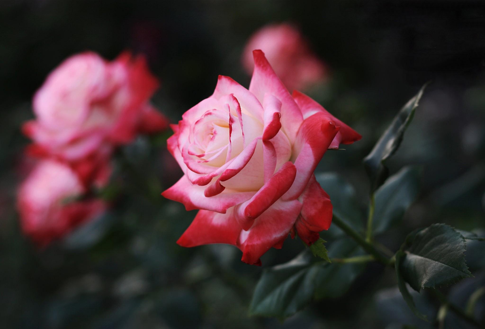 rose-closeup.jpg