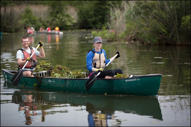 Volunteers remove water chestnut from the Mystic River.