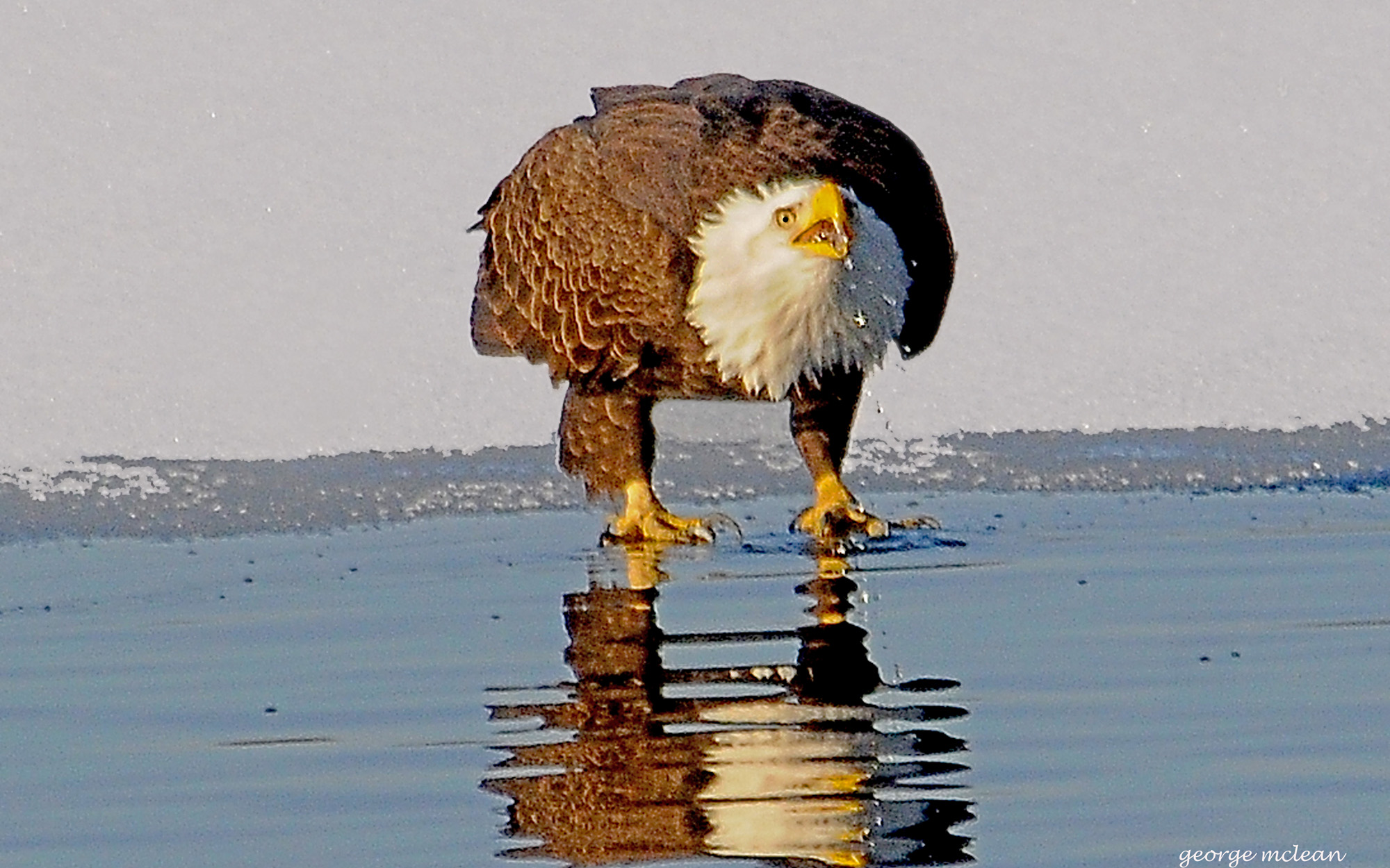 A bald eagle at the Mystic Lakes. Photo by George Mclean.