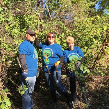Volunteers remove Oriental bittersweet, an invasive vine.