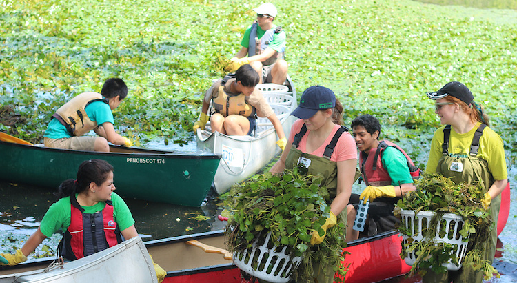 MyRWA volunteers removing water chestnut. Image Credit: MyRWA