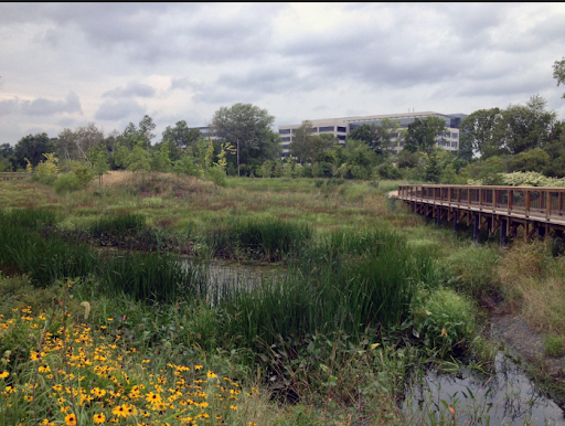 Stormwater wetland at Alewife Reservation, Cambridge. Plants and soils absorb phosphorus from runoff, before it can get to the river.  Photo: MWRA
