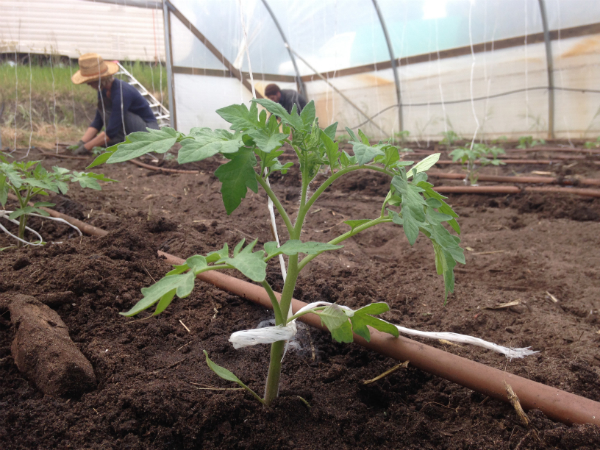 Transplanting Tomatoes into the polytunnel - Oct 2015