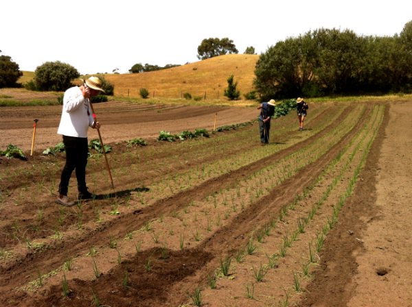 Hoeing onions in the sun ahead of the nighttime rain - Nov 2015