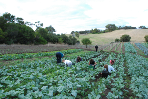Brassica Weeding- a welcome hand from a local yoga class
