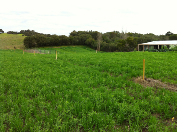 Green Manure crop covering the farm