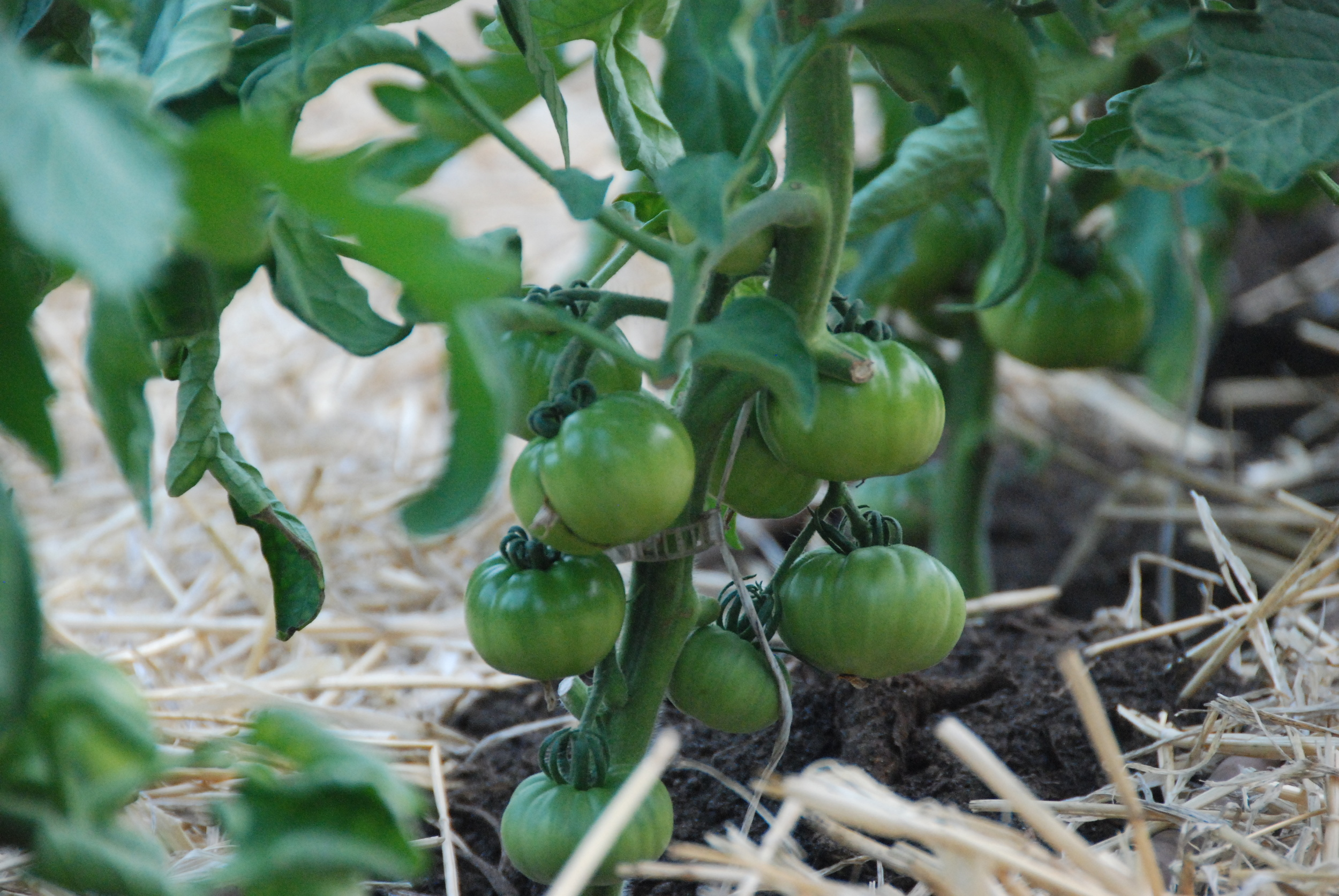 Polytunnel Tomatoes looking great!