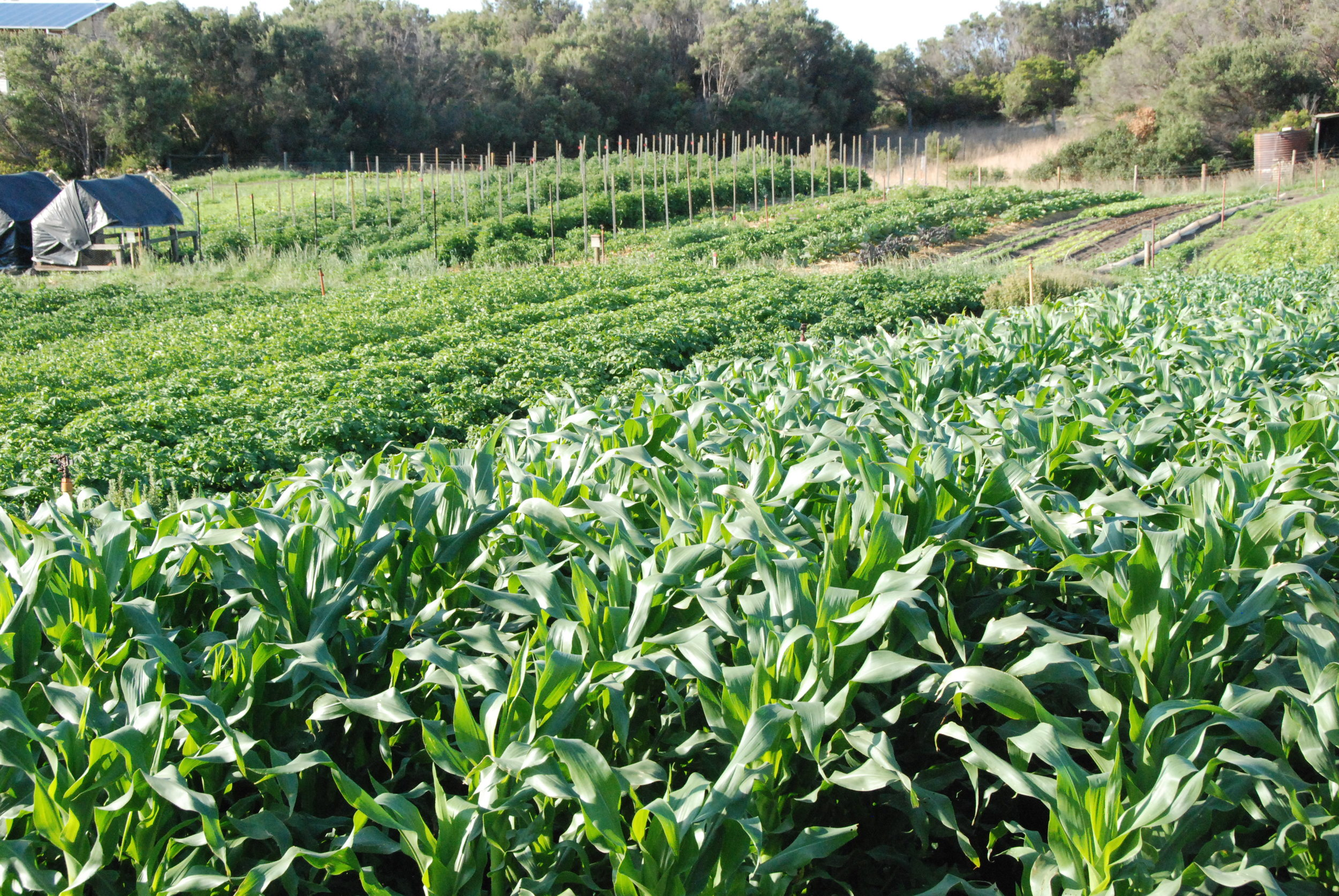 Sweet Corn, Potatoes and Tomatoes in the field. The chicken tractors are preparing the area for the Autumn brassicas