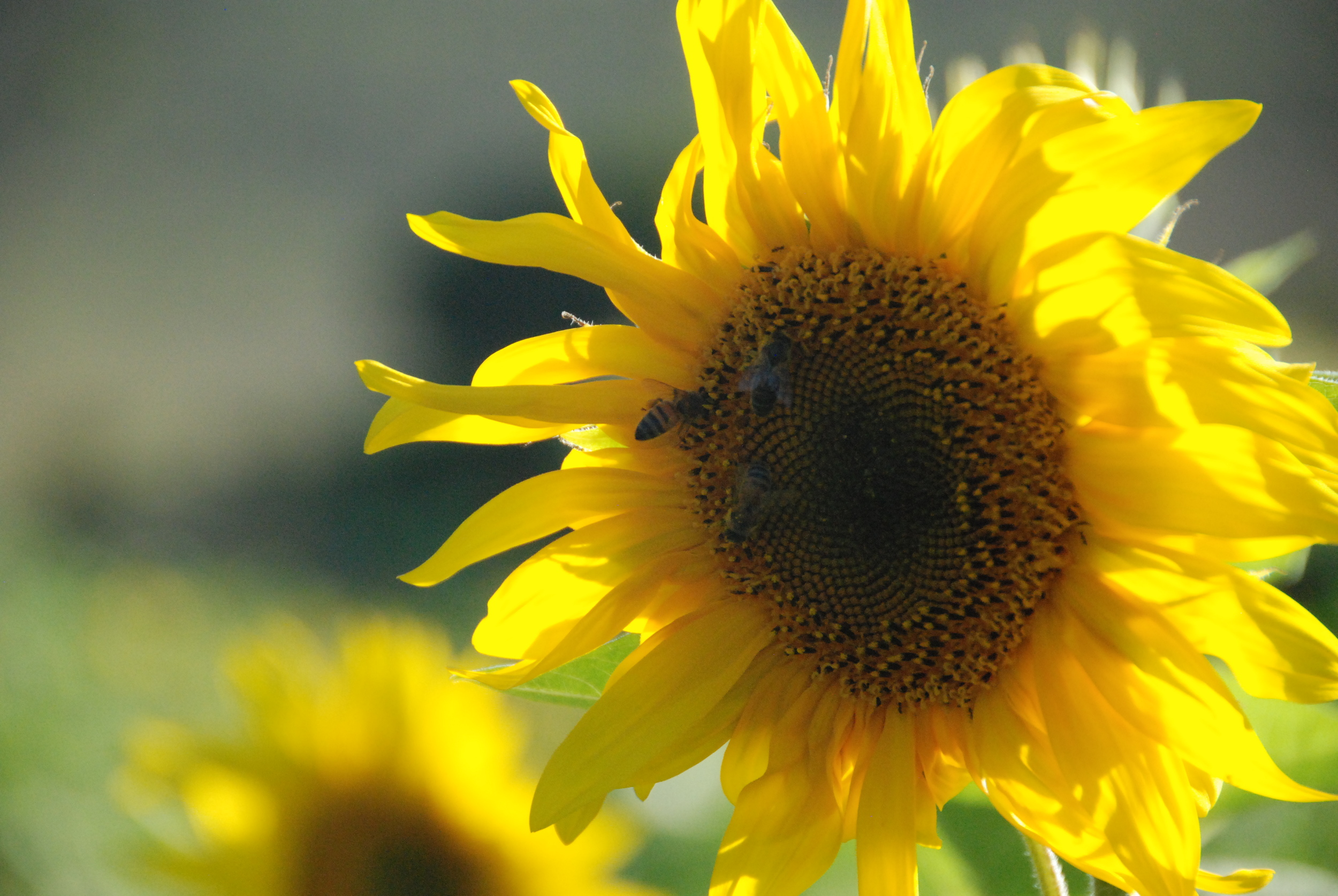 Sunflowers in full bloom at the end of Summer