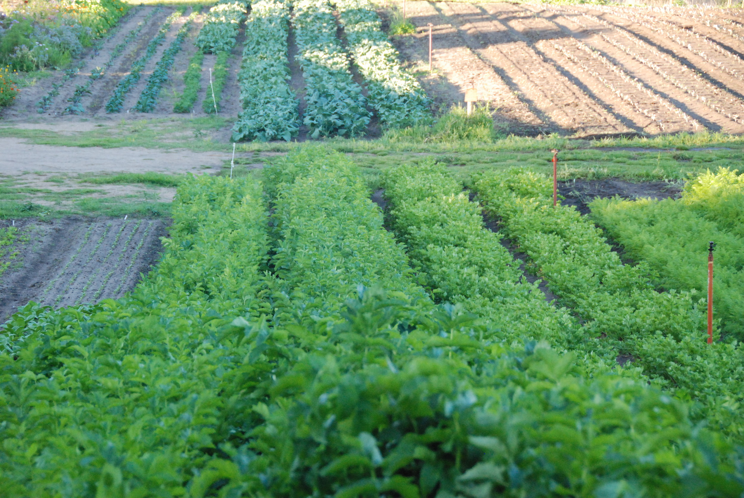 Autumn brassica plantings in the background, carrots, parsnips and celeriac in the foreground