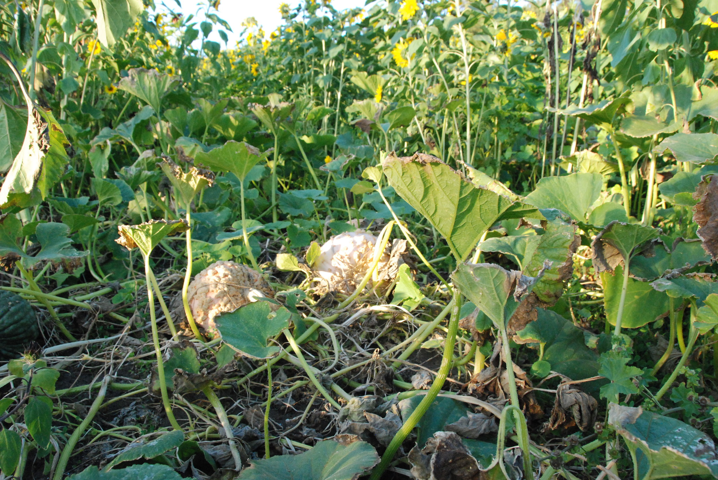 Pumpkins ripening in the field