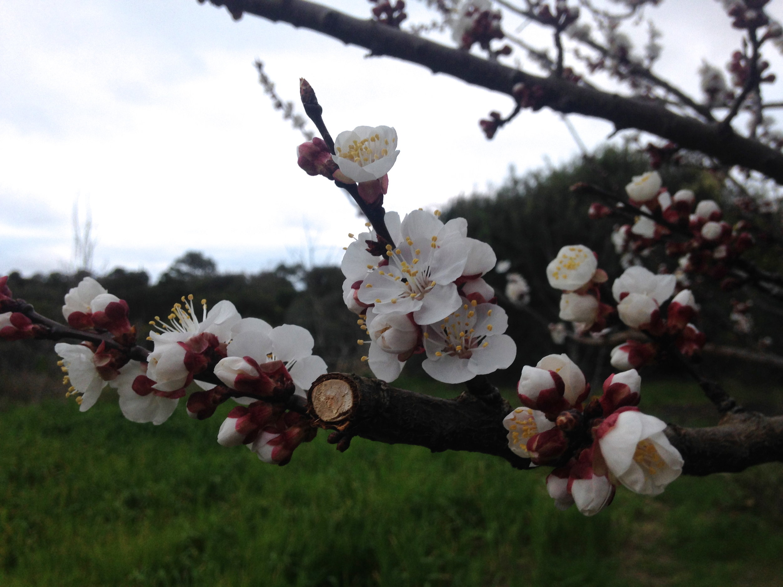 Blooming Apricot!