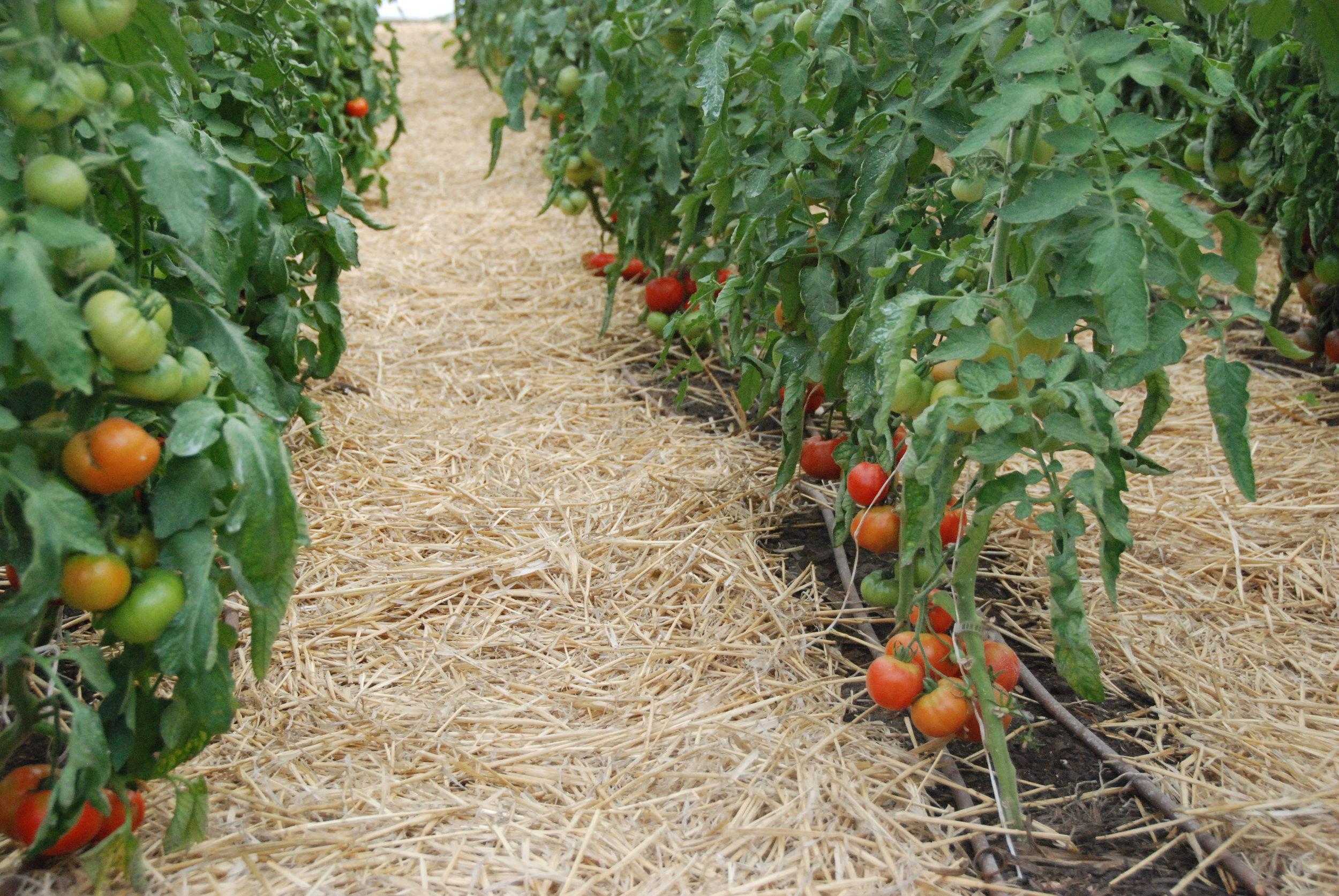 Heirloom Greenhouse Tomatoes - January 2016
