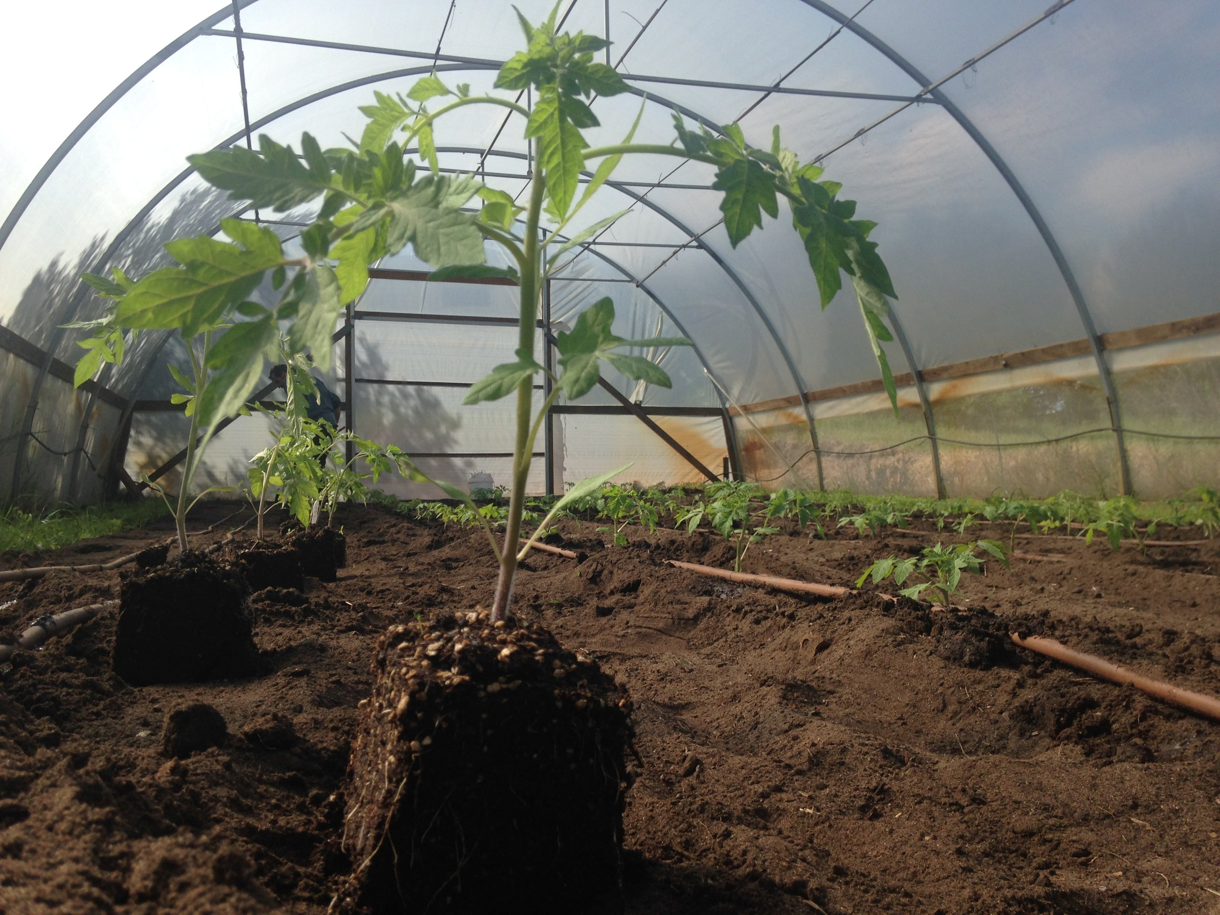 """Tomatoes in the 4"""" soil blocks being transplanted in the polytunnel"""