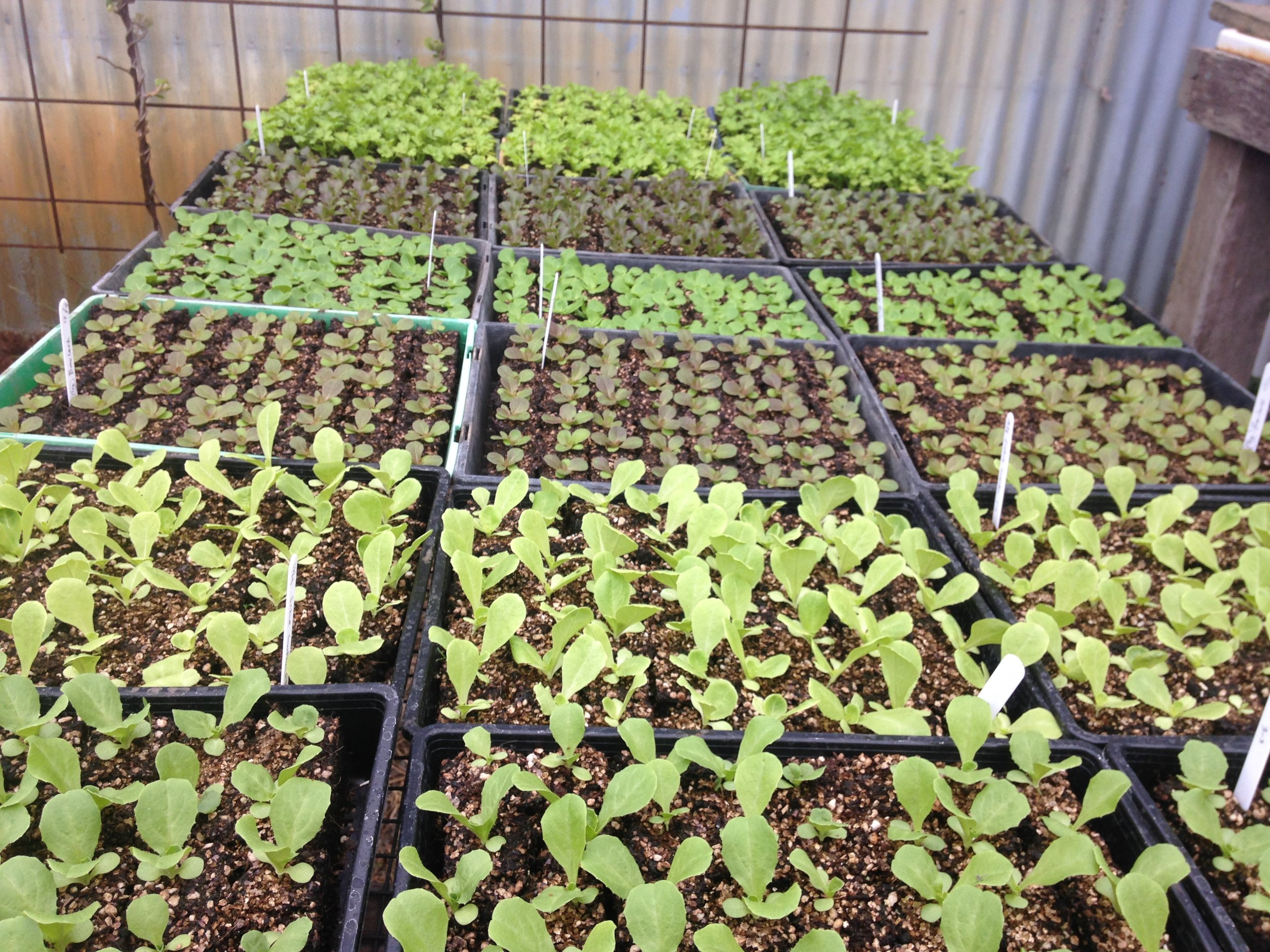 Lettuces, endive, escarole and celery - hardening off to prepare for field transplanting