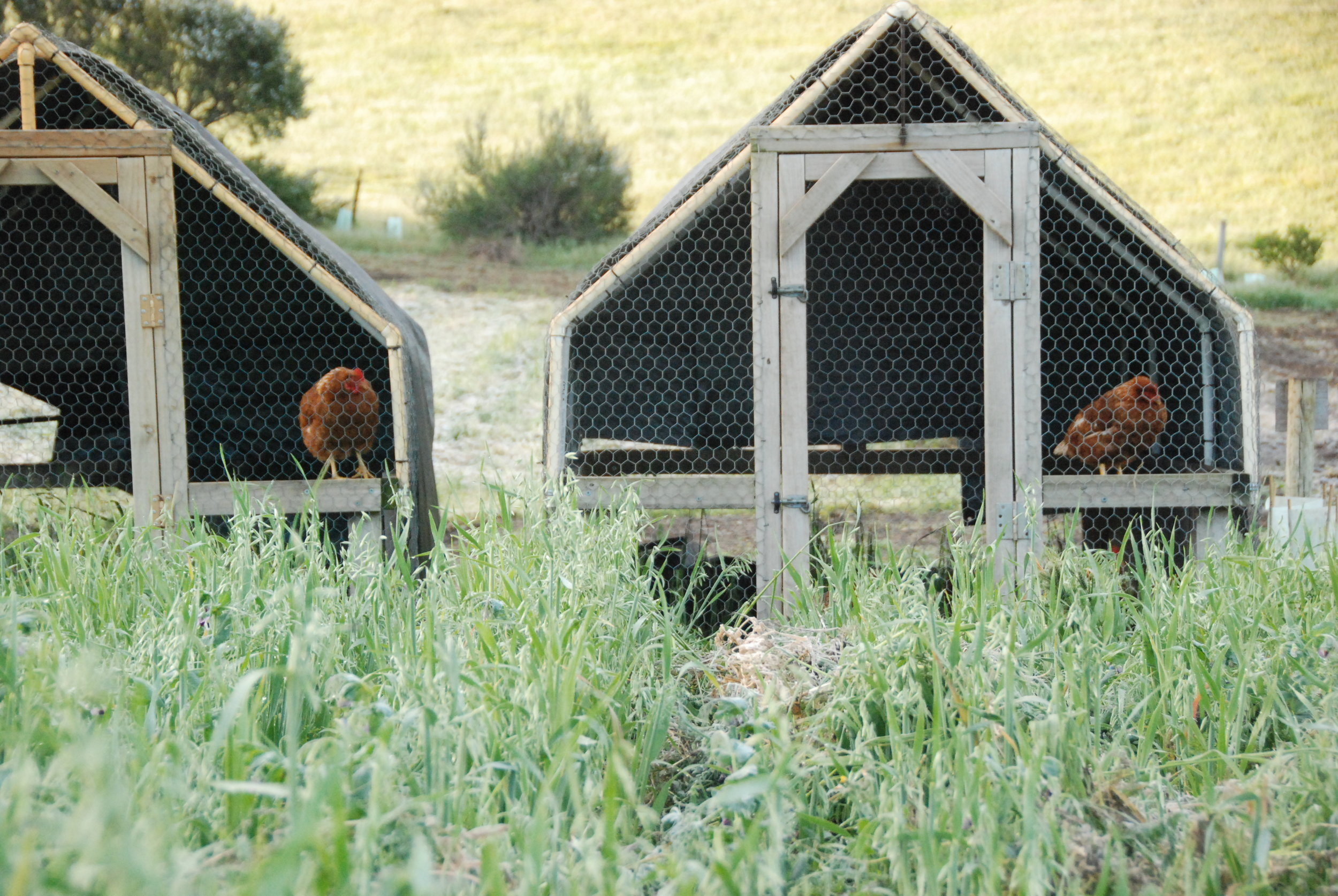 Chicken tractors working through the market garden