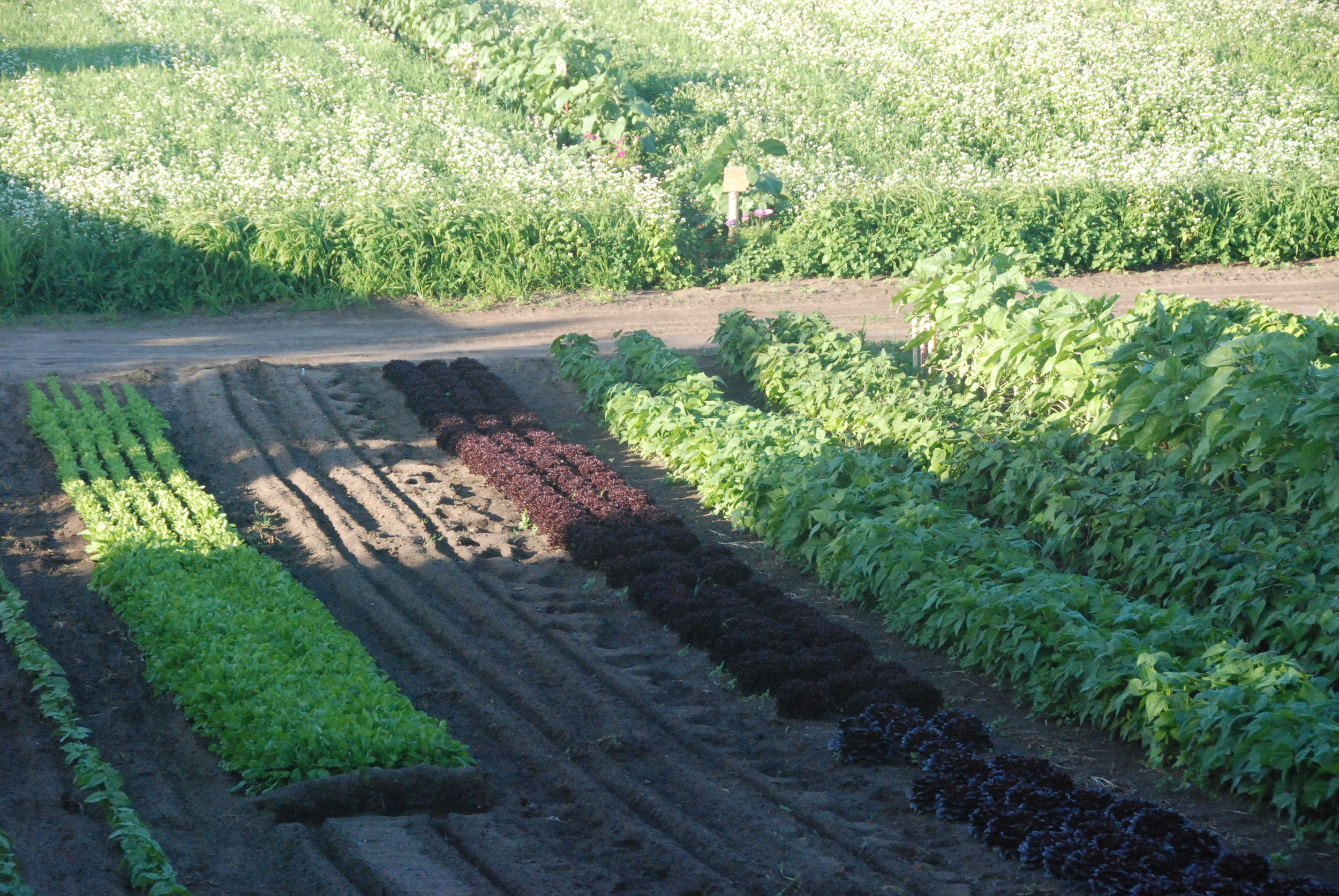Summer Beans and Lettuce - with green manure crops preparing soil for Autumn Pea plantings