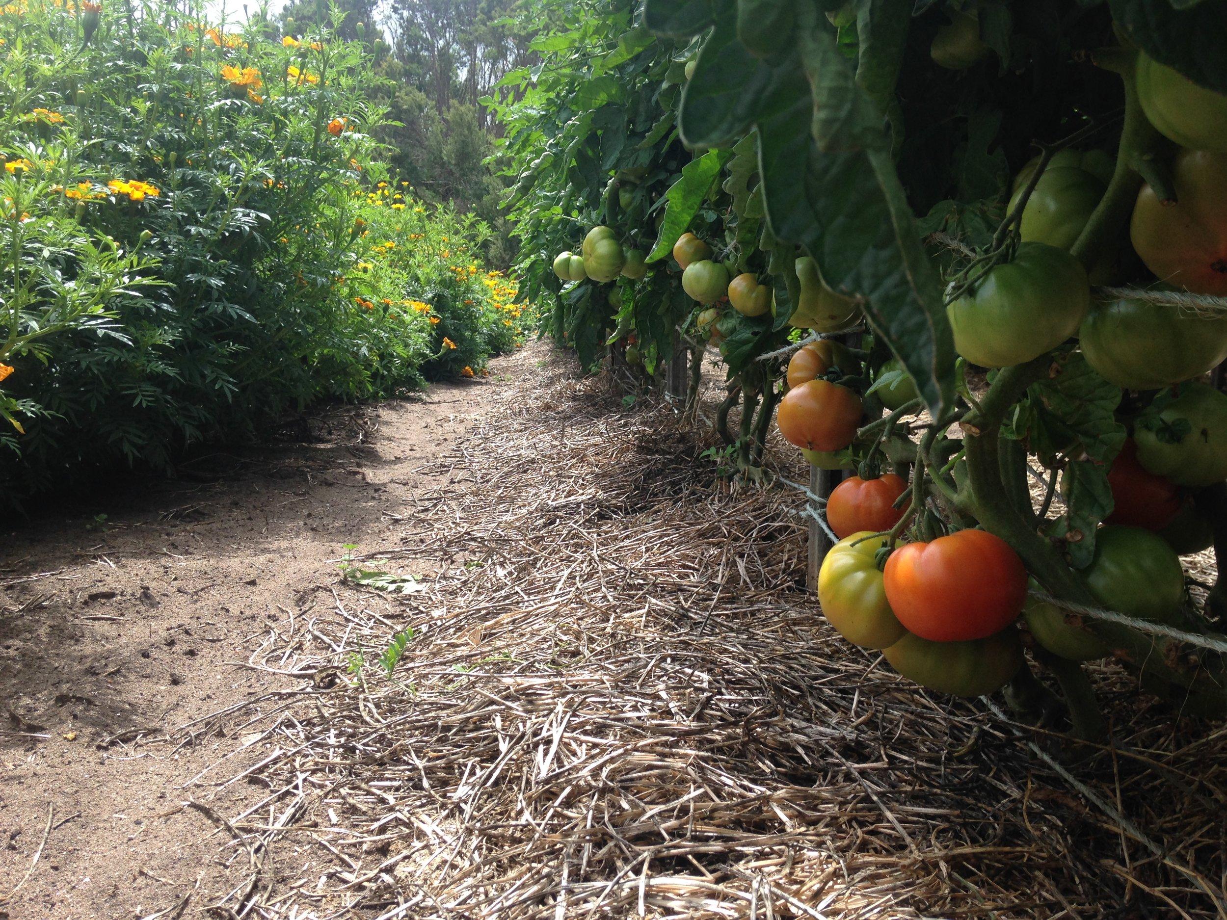 Field tomatoes finally ripening!
