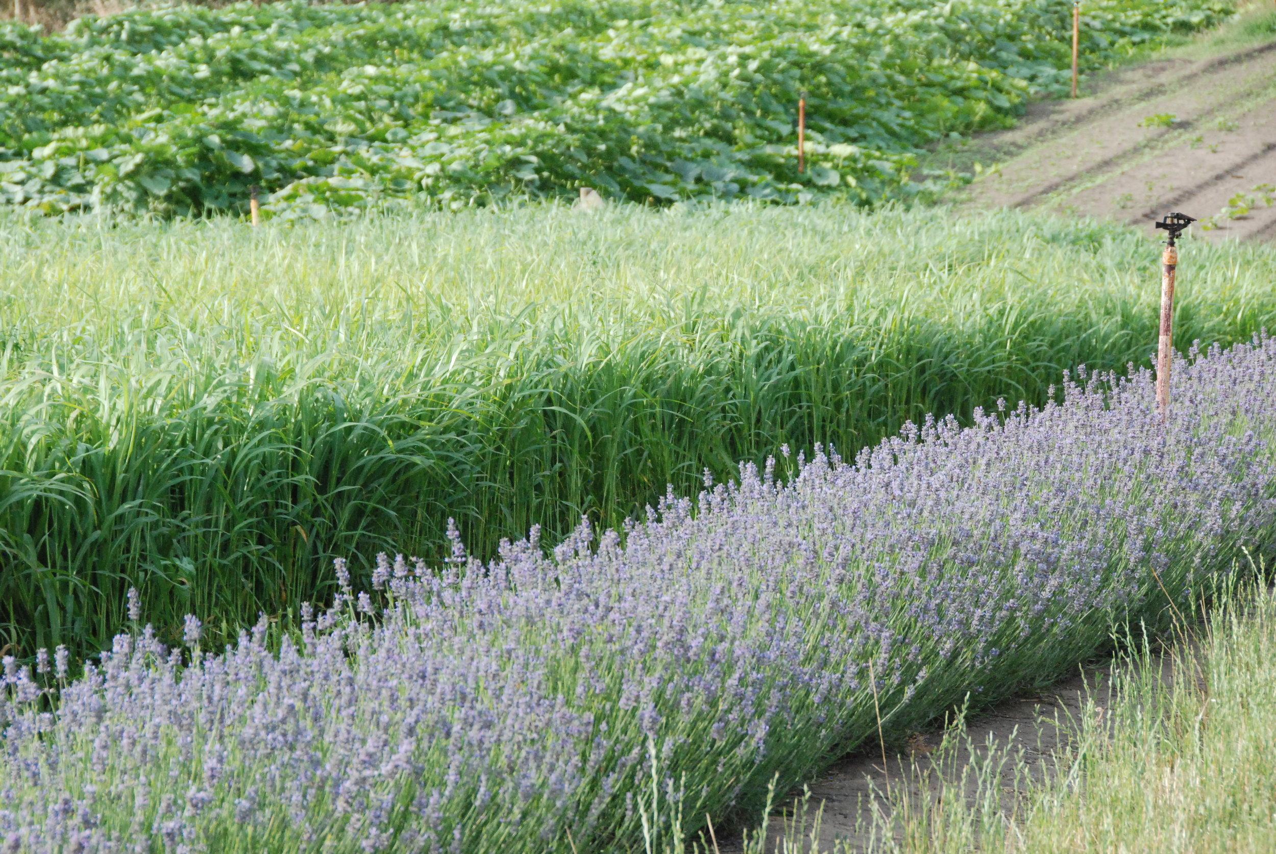 Lavender, green manure crop and pumpkins - DECEMBER 2017