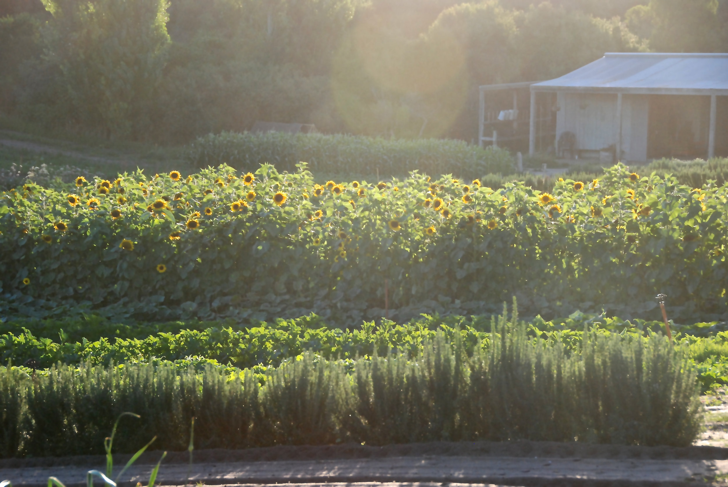 sunflowers, pumpkins, squash, rosemary - FEBRUARY 2018