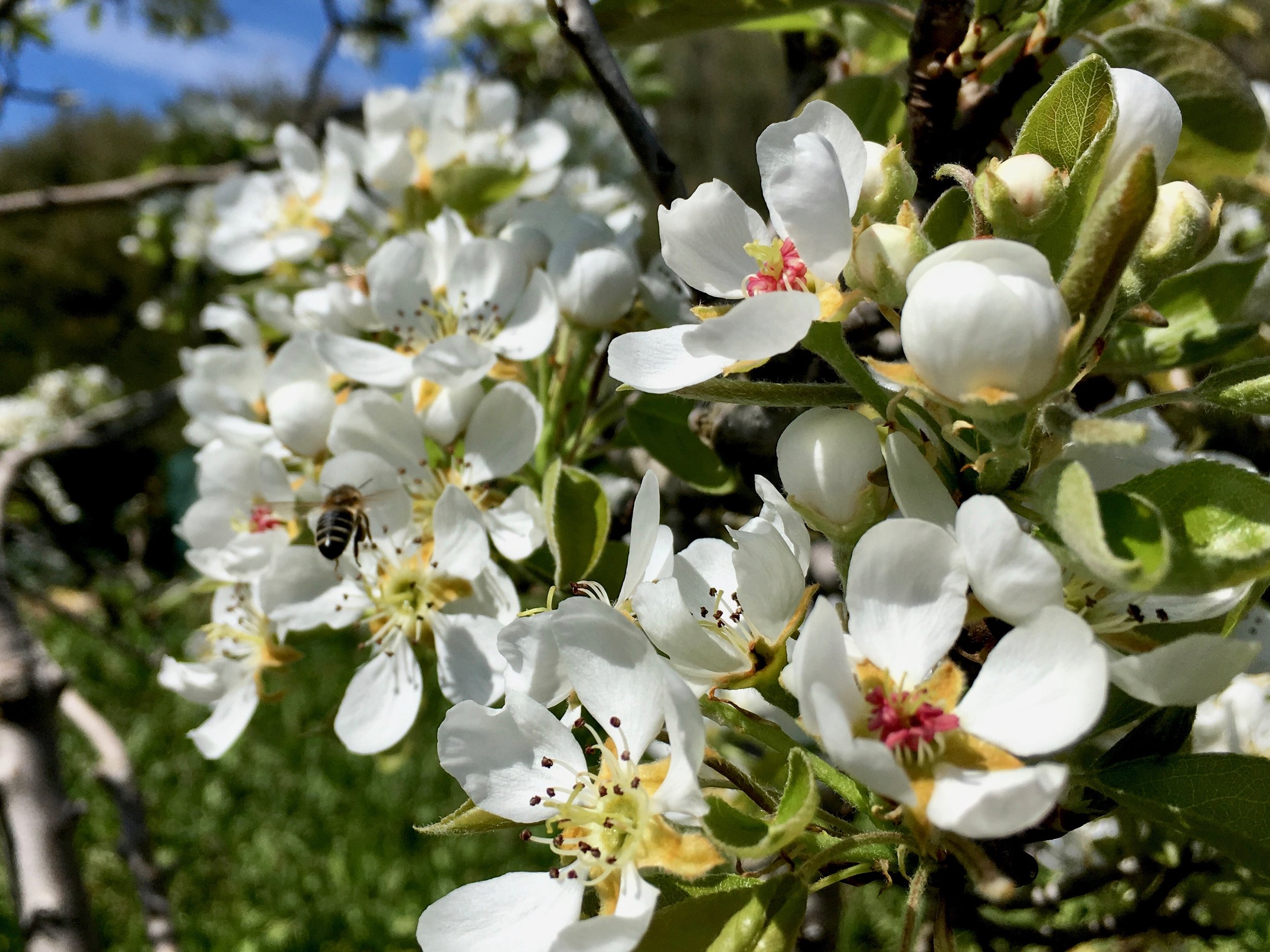 Pear Tree blossoms Oct 2018